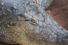 Crocodile eye Royalty Free Stock Photo
