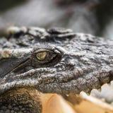 Crocodile eye Royalty Free Stock Image