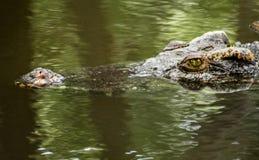 Crocodile eye. A swimming eyeballing crocodile Stock Photography
