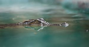 Crocodile Face And Reflection In Water Royalty Free Stock Photos