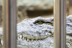 Crocodile face. Big crocodile behind the rail Royalty Free Stock Image