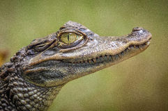 Crocodile Face in Close-up Photography Royalty Free Stock Photos