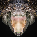 Crocodile face close up Stock Photography