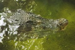 A crocodile face in water Royalty Free Stock Image