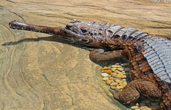 Crocodile. False Gharial Laying In Clear Shallow Pool Stock Photography