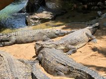 Crocodile family about to eat stock photography