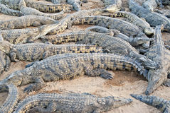The crocodile farm Stock Photos