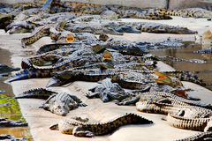 Crocodile farm Stock Photos
