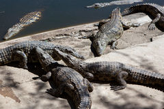 Crocodile Farm Stock Images