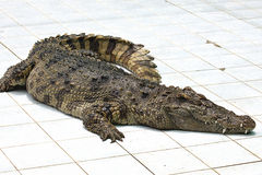 Crocodile on a farm Royalty Free Stock Photo