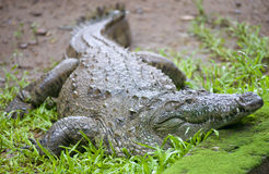Crocodile in a farm Stock Images