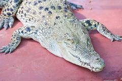 Crocodile on a farm Stock Photos