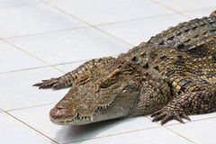 Crocodile on a farm Royalty Free Stock Image