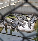 Crocodile Farm Royalty Free Stock Photography