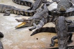 Crocodile Farm Royalty Free Stock Photos