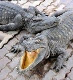 Crocodile Farm. Crocodiles are resting in their own isolated place, in Samutprakan Crocodile Farm & Zoo, Thailand Royalty Free Stock Images