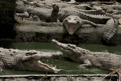 Crocodile farm Stock Image