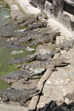 Crocodile Farm Feeding Stock Image