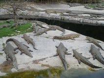 Crocodile Farm. Hundreds of crocodiles on croc farm in Cape Town Stock Photography