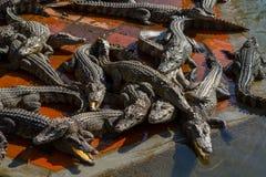Crocodile farm lots of aligators background royalty free stock images