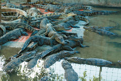 Crocodile in the farm Royalty Free Stock Photography