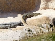 Crocodiles of the nile. Crocodile farm in Morocco agadir to relocate the breed Royalty Free Stock Image