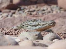 Crocodiles of the nile. Crocodile farm in Morocco agadir to relocate the breed stock image