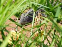 Crocodiles of the nile. Crocodile farm in Morocco agadir to relocate the breed stock photos