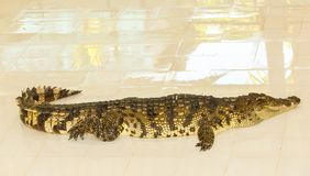 Crocodile farm in Phuket, Thailand. Dangerous alligator Royalty Free Stock Photo