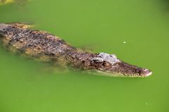 Crocodile farm in Phuket, Thailand. Dangerous alligator Stock Image