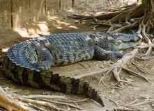 Crocodile on a farm, Thailand Stock Images