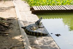 Crocodile on a farm, Thailand Stock Photo