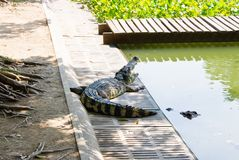 Crocodile on a farm, Thailand Stock Photography