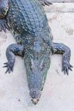 Crocodile on a farm, Thailand Royalty Free Stock Photography