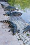 Crocodile on a farm, Thailand Stock Photography