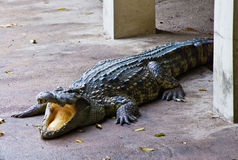 Crocodile on a farm, Thailand Stock Photos
