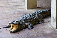 Crocodile on a farm, Thailand Stock Photos