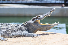 Crocodile in farm Stock Photo