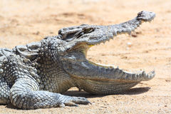 Crocodile in farm Stock Image