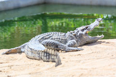 Crocodile in farm Royalty Free Stock Photography