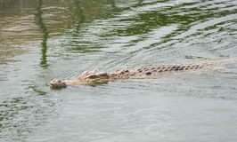 Crocodile in farm Royalty Free Stock Images