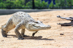 Crocodile in farm Stock Photos