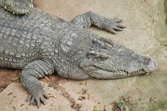 Crocodile farm, Thailand Royalty Free Stock Photography