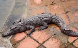 Crocodile farm, Vietnam. Commercial crocodile farming in Vietnam has soared since its introduction 30 years ago, with most of the activity taking place in the stock photography