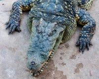 Crocodile on a farm Stock Photo