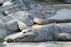 Crocodile farm and zoo, Crocodile farm Thailand Royalty Free Stock Images