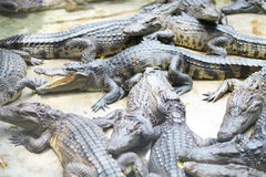 Crocodile farm and zoo, Crocodile farm Thailand Stock Image