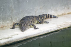Crocodile Farm and Zoo. Jaws and Claws The world's largest crocodile farm. Lots of crocs both fresh - and saltwater. Show with crocs verses handlers in murky Stock Photo