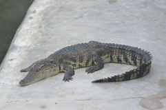 Crocodile Farm and Zoo. Jaws and Claws The world's largest crocodile farm. Lots of crocs both fresh - and saltwater. Show with crocs verses handlers in murky Stock Photography