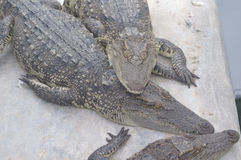 Crocodile Farm and Zoo. Jaws and Claws The world's largest crocodile farm. Lots of crocs both fresh - and saltwater. Show with crocs verses handlers in murky Royalty Free Stock Photography